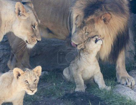 Photo pour Un moment délicat entre le parent et la progéniture dans une famille de lions avec deux petits oursons - image libre de droit