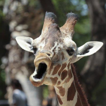 Photo pour Une girafe dans un zoo on dirait que c'est un chant - image libre de droit