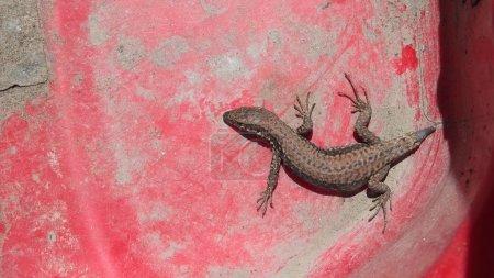 Photo pour Un lézard mutilé sur la pelle à poussière en plastique rouge - image libre de droit