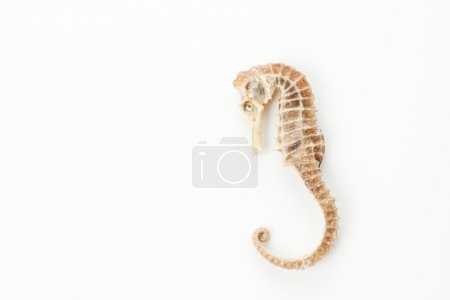 sea horse little fish skeleton