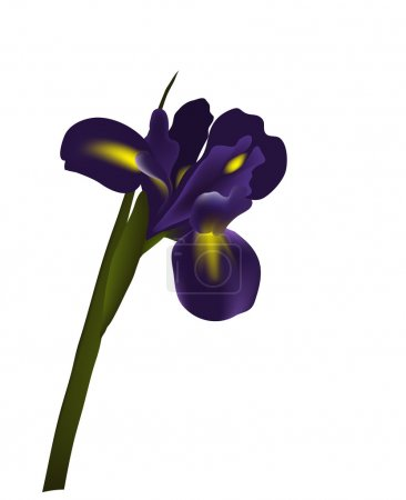 Illustration for Iris flower vector for design card, isolated on white background - Royalty Free Image
