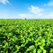Rural landscape with fresh green soy field. Soybea...