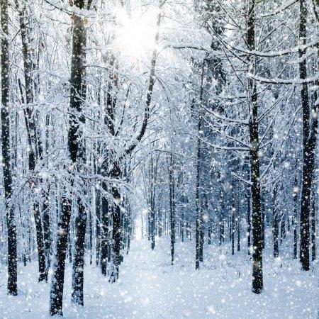 Photo pour Forêt d'hiver - image libre de droit