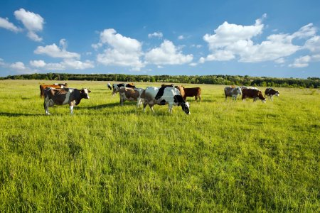 Cows grazing in green meadow