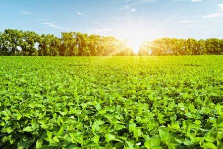 Soybean field...