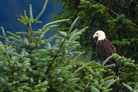 Photo pour Pygargue à tête blanche perché dans un arbre au bord de la route à Juneau - image libre de droit