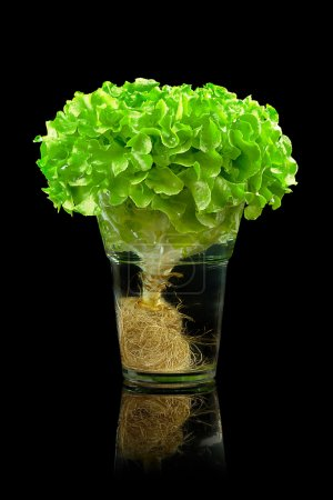 Photo for Isolate lettuce in the glass bowl over black background - Royalty Free Image