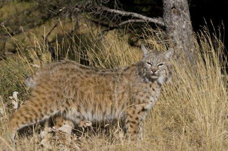 Photo pour Lynx adulte se promène à travers les forêts - image libre de droit