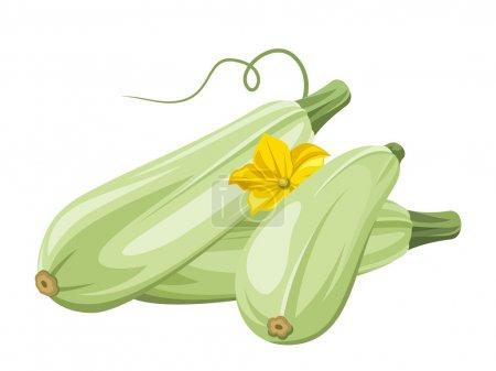 Marrow vegetables. Vector illustration.