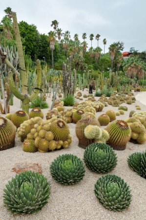 Echinocactus and others at Montjuic Cactus park at Barcelona