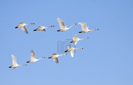 Tundra Swans flying in formation on a clear winter...