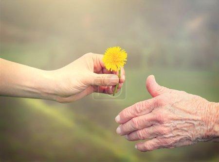Photo pour Jeune femme donnant un pissenlit à une femme âgée - image libre de droit