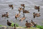 Kachny na řece