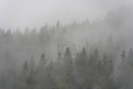 Pine forest on a mountain slope covered in dense f...