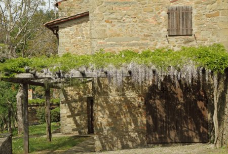 pergola with flowering violet wisteria creeper , Tuscany