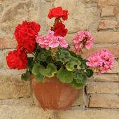 Růžové a červené pelargónie květiny v hrnci na cihlovou zeď, Toskánsko, ita