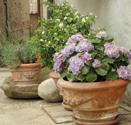 Flowering hortensia and other plants in terracotta vases
