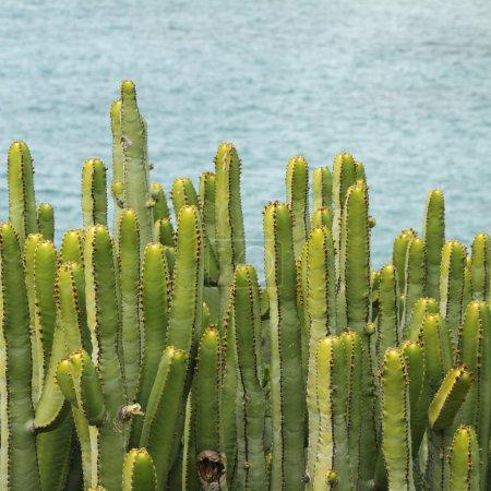 Canary Island Spurge, ( called also Hercules club ...