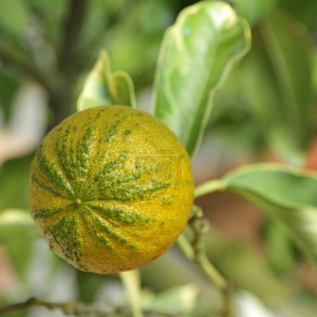 Type of  Bitter orange