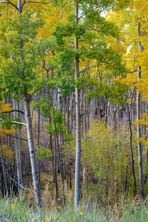 Golden Aspen Trees Grove in Autumn, Fall