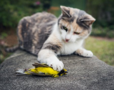 Calico Cat Holding Dead Hooded Warbler Song Bird with Its Paw