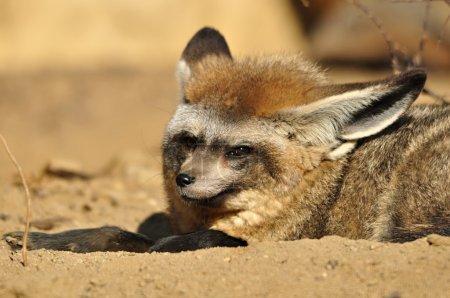 Fox, animal, animals, nature, outdoor, zoo, biolog...