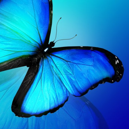 Photo for Blue butterfly on blue background - Royalty Free Image