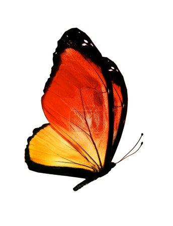 Photo pour Papillon orange, isolé sur fond blanc - image libre de droit