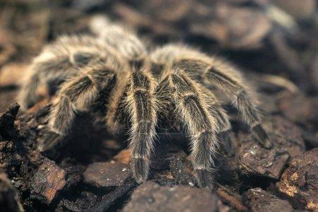 Dreadful giant tarantula