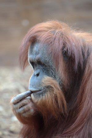 Photo pour Portrait de l'orang-outan de Bornéo, pongo pygmaeus, un natif de l'île de Bornéo de grands singes - image libre de droit