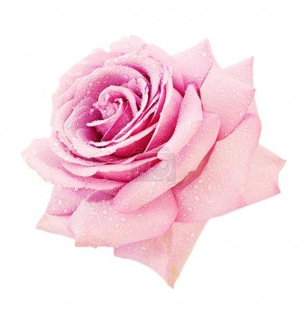 Photo pour Rose closeup rose sur fond blanc - image libre de droit
