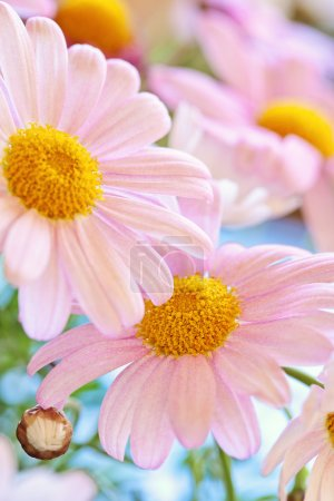 Photo for White and pink delicate daisy flowers closeup - Royalty Free Image