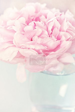 Peony flower closeup.