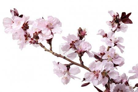 Photo pour Branche de fleurs de cerises sur fond blanc - image libre de droit