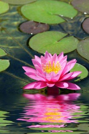 Photo pour Nénuphar rose avec feuille de lotus sur l'étang - image libre de droit