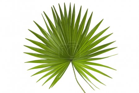 Photo for Leaf of a Palm Tree Isolated on White - Royalty Free Image