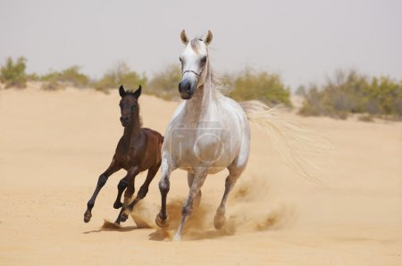 Dark foal and white mare galloping in desert...