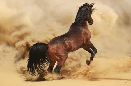 An Arabian stallion