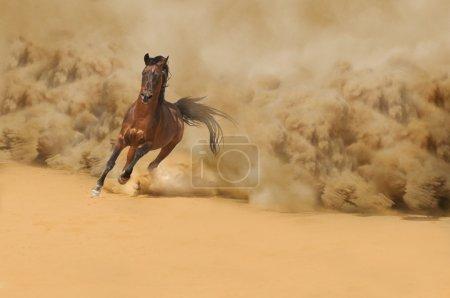 Photo pour Cheval arabe pur-sang courant dans le désert - image libre de droit
