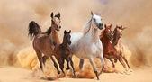 Koně v písku prachu