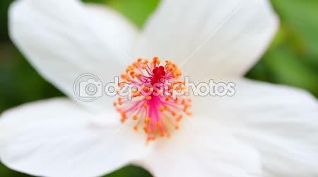 Květy růžové plumeria