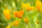 žluté květy máku