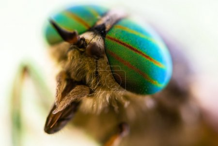 Gadfly eye close-up.