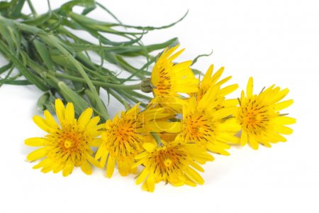 Bouquet of yellow flowers salsifyс on white background
