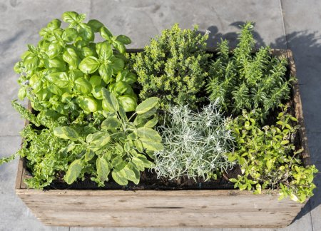 Photo for Wooden container with fresh herbs menthe mentha pulegium,immortelle helichrysum italicum ,origan origanum aureum ,savory satureja, thymus and basil ocimum - Royalty Free Image