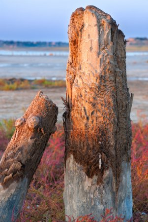 Petrified tree stubs on the lake, Kuyalnik, Ukraine