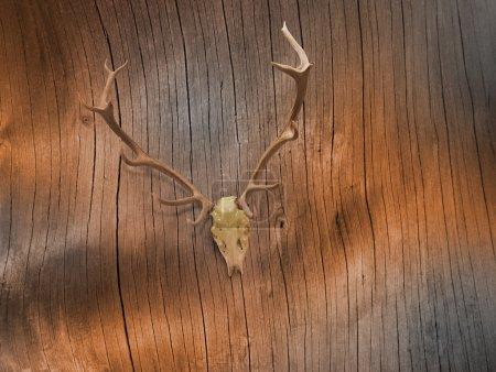 Deer Skull on Bare Tree Bark