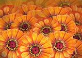 Narancs daisys