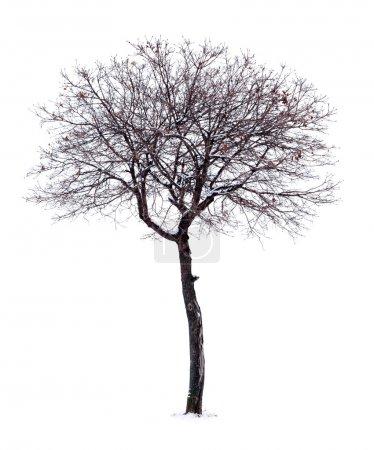 Photo pour Arbre sans feuilles isolé sur fond blanc. - image libre de droit