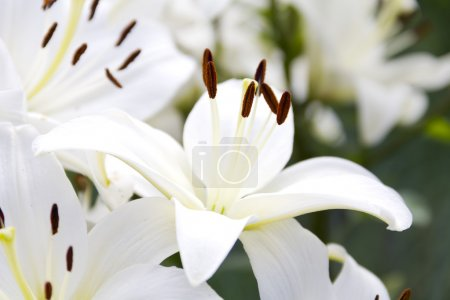 White Lily flowers in a garden, shallow DOF